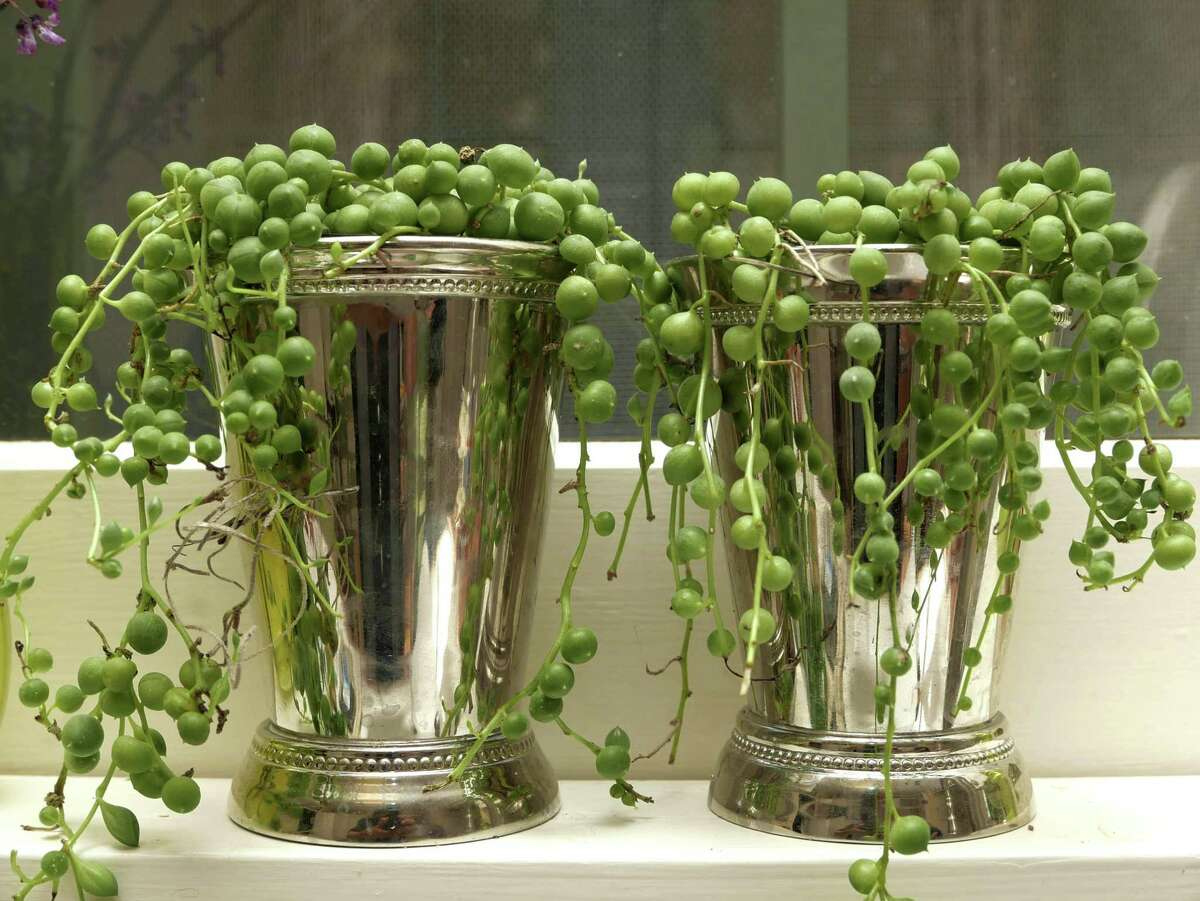 String of pearl vines cascade from miniature silver mint julep cups lined up on a sill above the kitchen sink. Bright diffused light and a weekly sprinkle of water keep the little jewels jubilant.