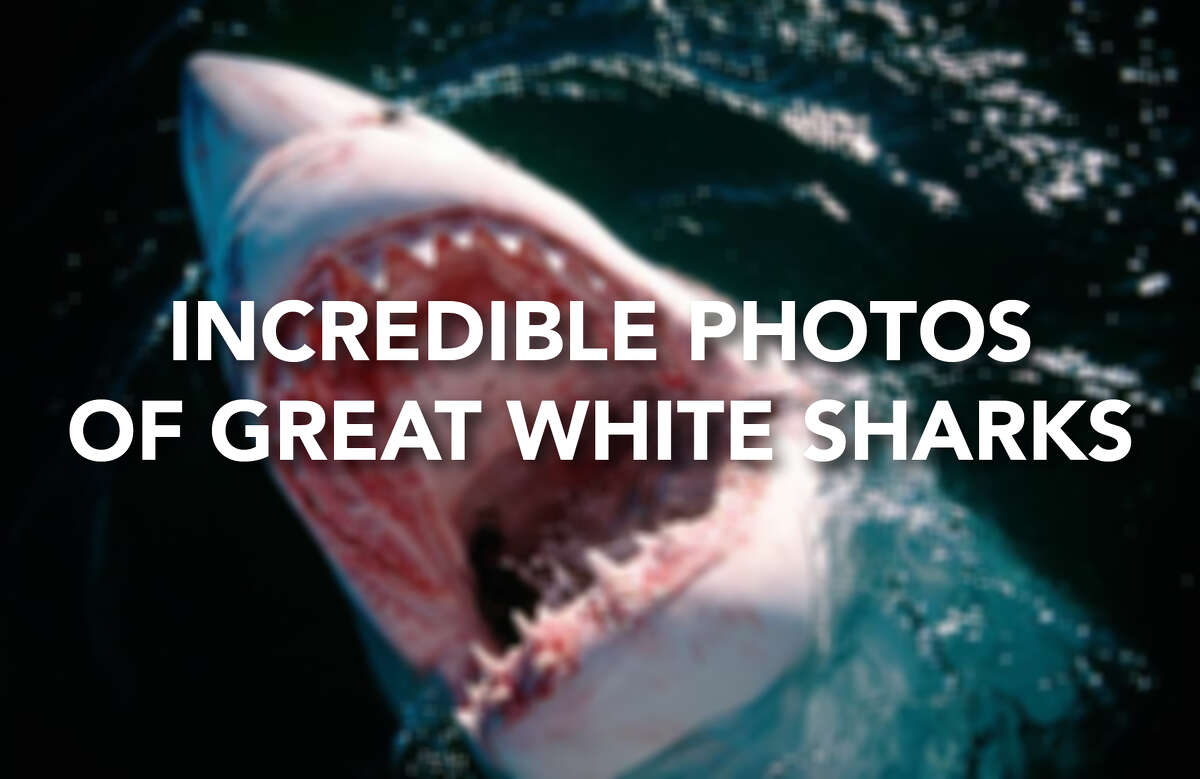 Click through for some dramatic images of Great White Sharks.
