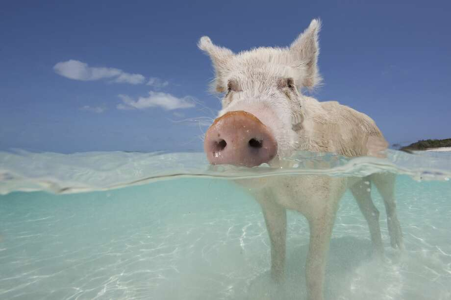 A Pig Sus Scrofa Domestica Swimming In The Bahamas Crystal