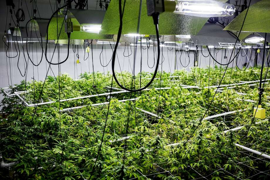 Views of a grow operation inside of Seattle-based Db3 Corporation's 25,000 square-foot facility, as seen in August 2014. Photo: JORDAN STEAD, SEATTLEPI.COM
