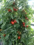 Garden Gem is a new variety of tomato not yet commercially available. It bears 2- to 2.5-ounce oval fruit.  Credit: Dawn H. Bies