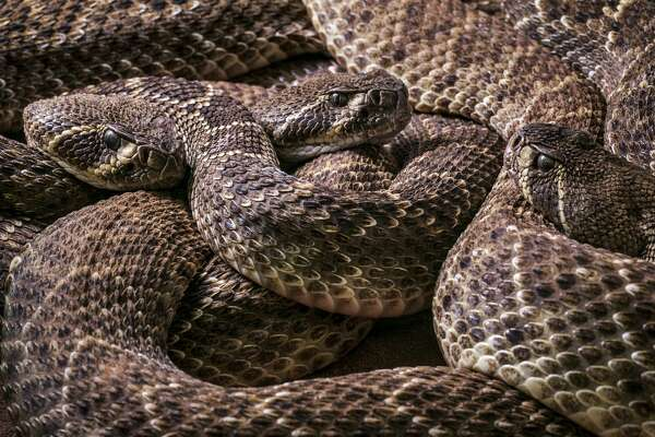 Three Western diamondback rattlesnakes / Texas diamond-back rattlesnake (Crotalus atrox) curled up, native to the United States and Mexico. (Photo by: Arterra/UIG via Getty Images)