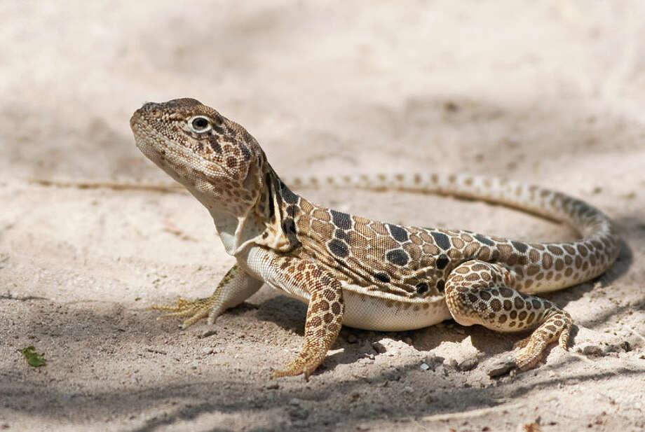 Drunken driving suspect had lizard in bra