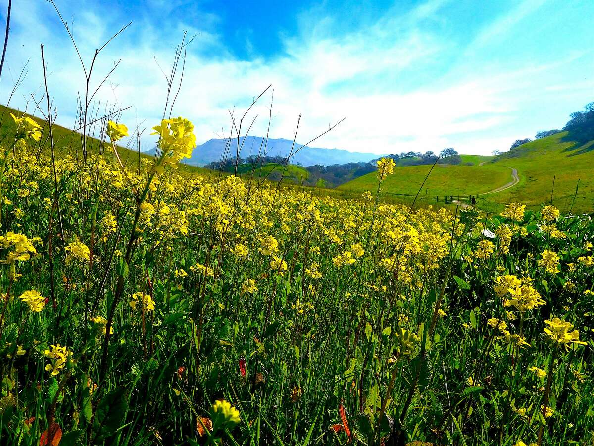 Blooming wild mustard on Briones Peak Trail at Briones Regional Park in the East Bay hills with a silhouette of Mount Diablo on the horizon
