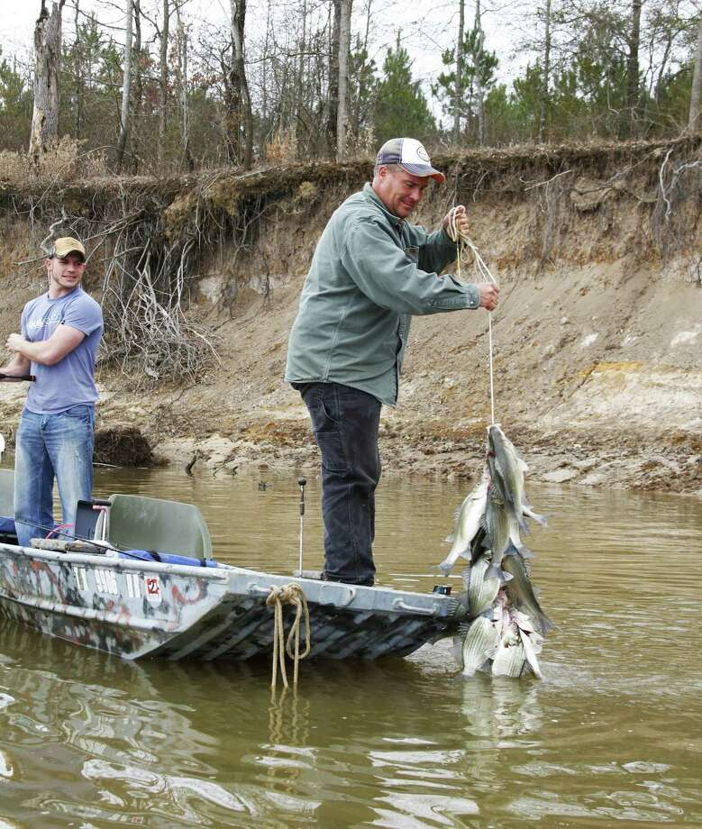 As spawning run shows white bass thriving houston chronicle for Lake hennessey fishing