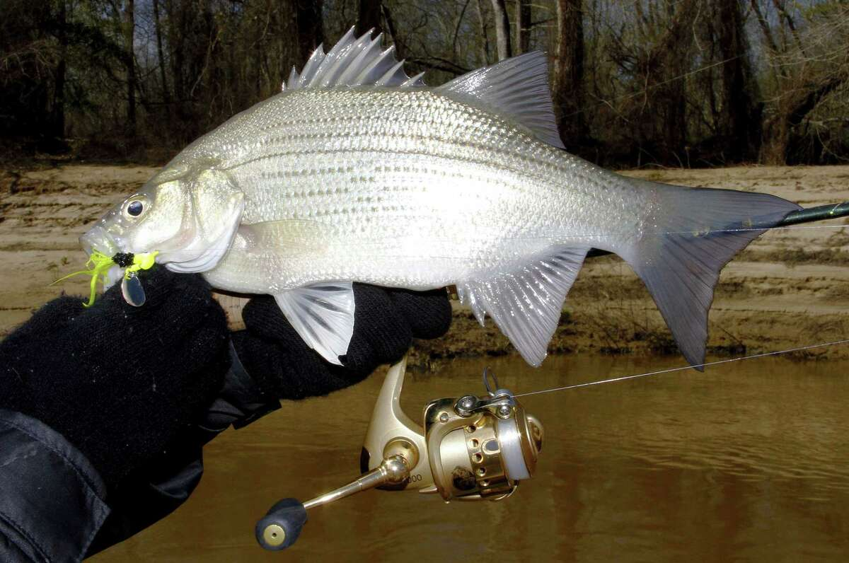 A light spinning rod/reel spooled with 6-8-pound-test monofilament or 4-lb-diameter/15-pound-test braided line is the perfect tackle for targeting even the largest spawning-run white bass in Texas rivers.