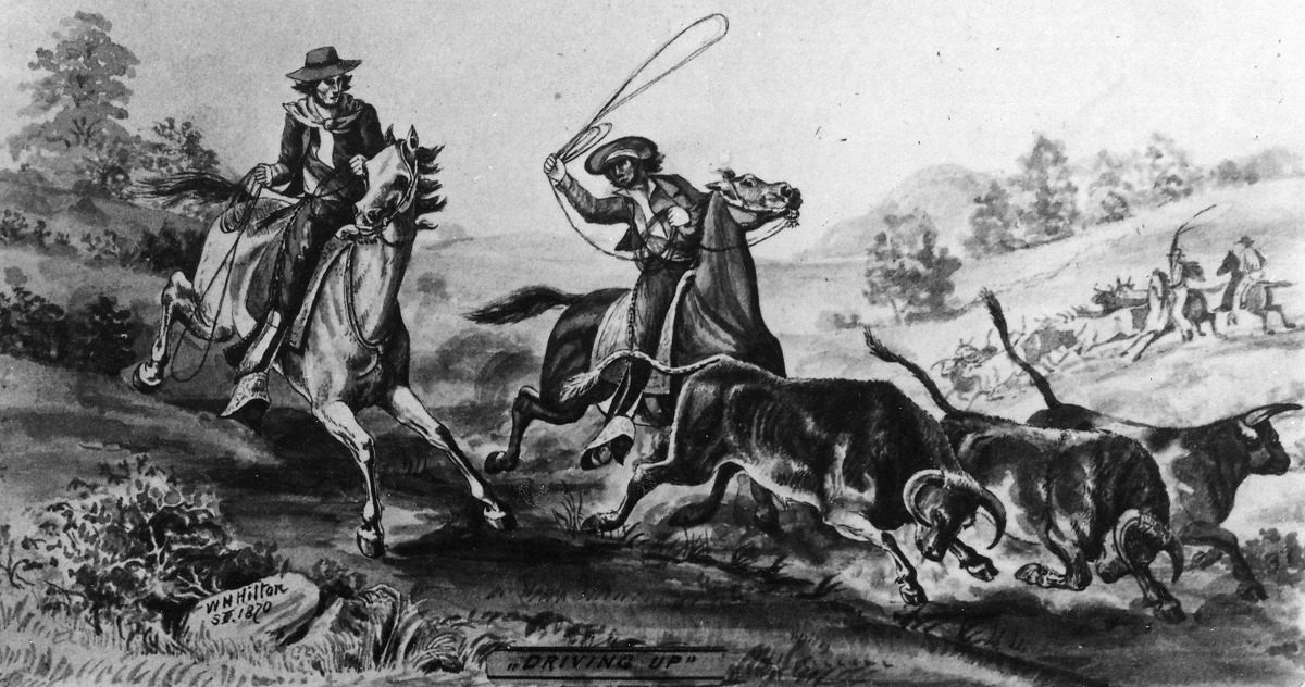 Spanish cowboys in a drawing from 1870 rounding up bulls Courtesy of Bancroft Library Wyland Stanley collection