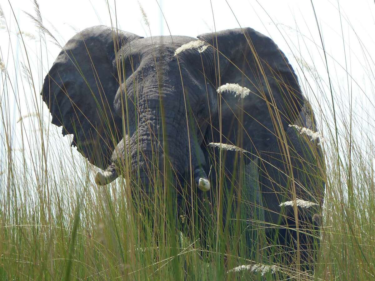 In this Sept. 5, 2016 photo, an elephant, in Botswana's Okavango Delta, allowed viewers a close approach via a boat drifting quietly through tall grass. Specialized photo safaris provide wildlife and cultural access you're not likely to get on your own. (Dean Fosdick via AP) ORG XMIT: NYLS215