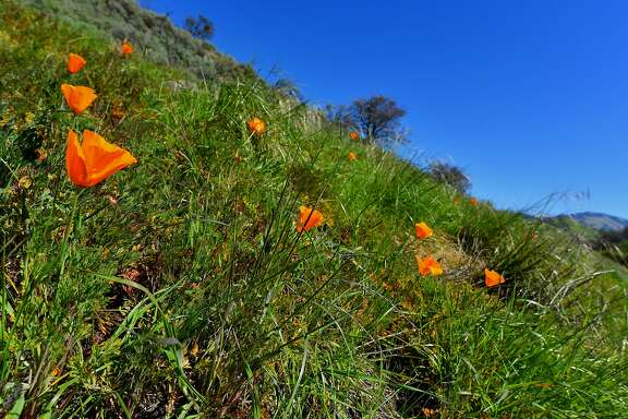 Golden poppys were blooming Thursday in Tice Valley near Walnut Creek in the East Bay hills