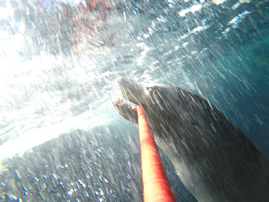 A sea lion at the Aquarium of the Pacific in Long Beach, Calif. takes selfies in his exhibit. Photo: Hugh Ryono/Aquarium Of The Pacific