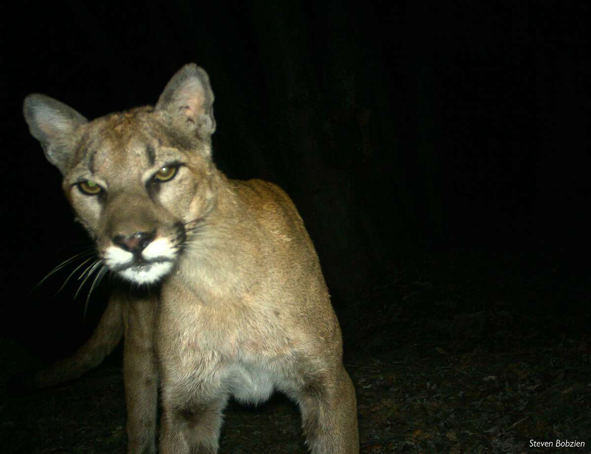 In this file photo, a mountain lion is seen in a photo taken by remote camera in the Sunol Regional Wilderness and the Ohlone Regional Wilderness in Sunol, California on July 26, 2013.