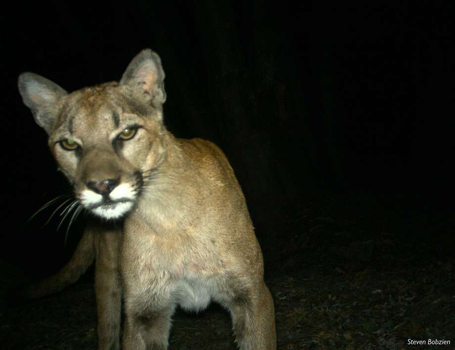 A photograph of a mountain lion taken by remote camera in the Sunol Regional Wilderness and the Ohlone Regional Wilderness in Sunol, California on July 26, 2013. Photo: Steven Bobzien, East Bay Regional Park District