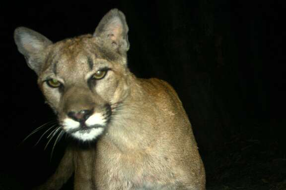 A photograph of a mountain lion taken by remote camera in the Sunol Regional Wilderness and the Ohlone Regional Wilderness in Sunol, California on July 26, 2013.
