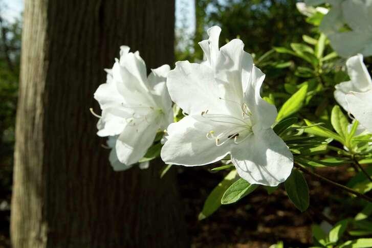'Mrs. G.G. Gerbing' white azaleas