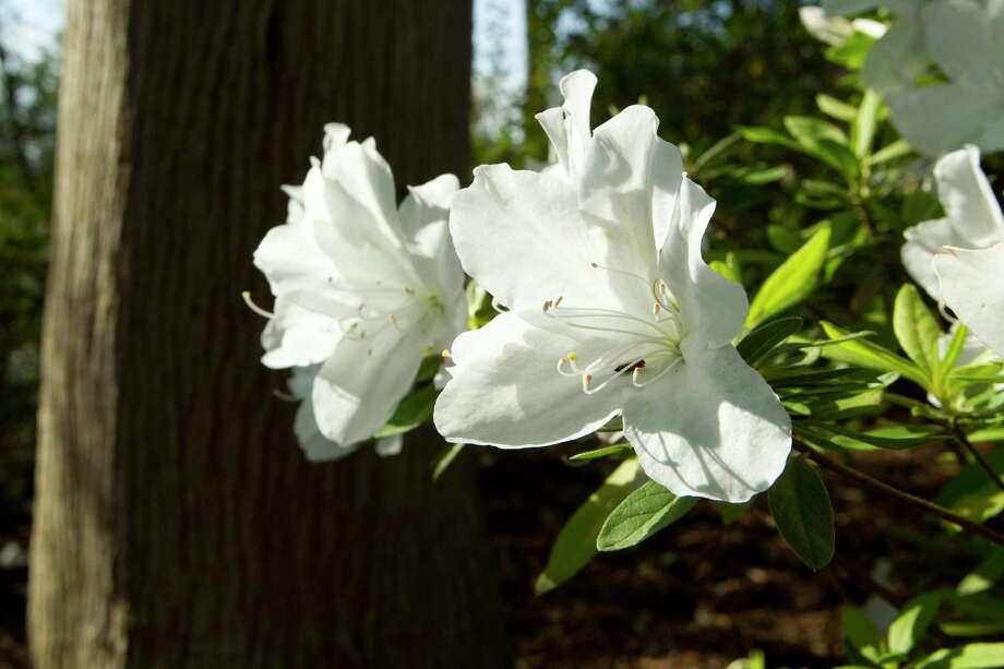 'Mrs. G.G. Gerbing' white azaleas Photo: Brett Coomer, Houston Chronicle / © 2012 Houston Chronicle