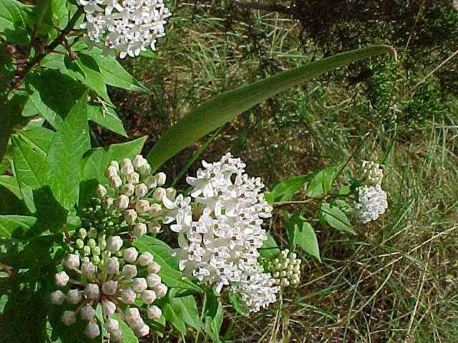 On Sunday morning, two editions of a special class on growing milkweeds for monarch butterflies will be offered. Native milkweed seed will be available. Photo: Harlen E. And Altus Aschen /Courtesy Asclepias.homestead.com