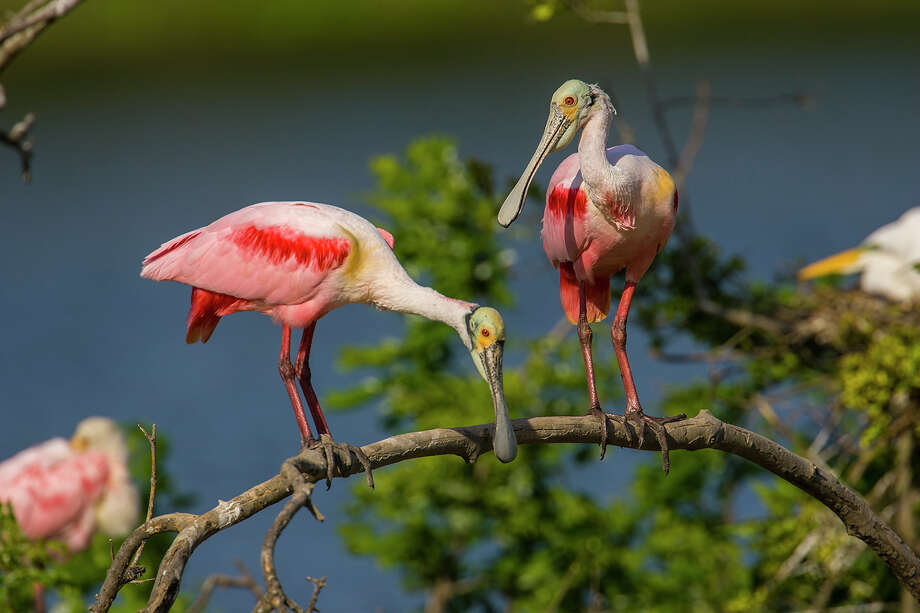 Handsome roseate spoonbill males will select a nest location and attempt to attract a female by bobbing his head up-and-down.  Photo: Kathy Adams Clark / Kathy Adams Clark/KAC Productions