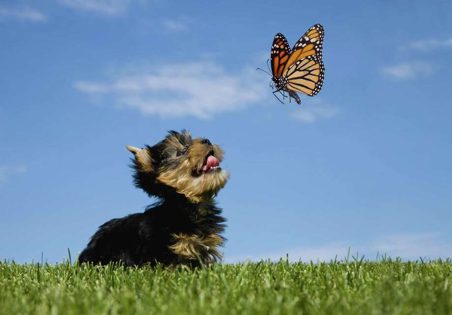 The milkweed plants that feed monarch butterflies could be toxic to dogs who eat the plants or the butterflies who fed on the plants. Photo: Liliboas /Getty Images / Lisa Thornberg