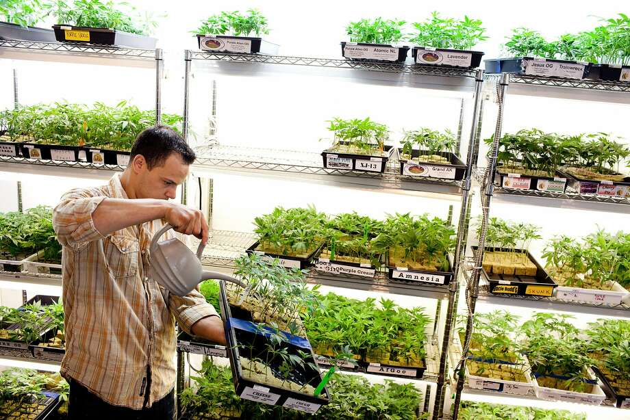 Ryan Talerico takes care of the plants at Harborside Health Center in Oakland. Photo: TIM HUSSIN, Special To The Chronicle