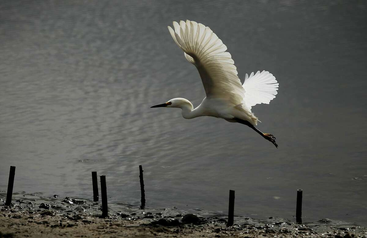 A Snowy Egret takes off from the marsh area at Crissy Field, in San Francisco, Ca., on Friday May 27, 2011, as the recreation area gets ready to celebrate the 10th anniversary of it's restoration.