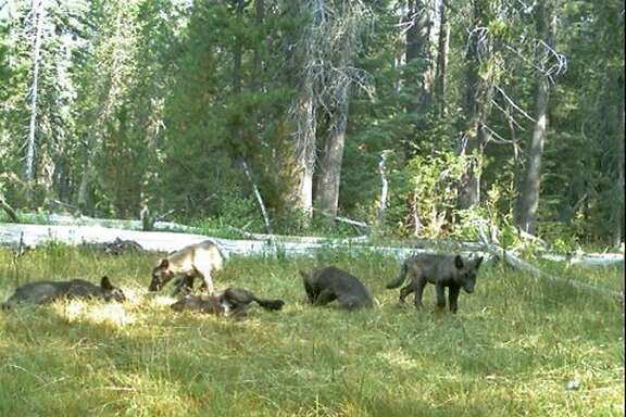 In this Aug. 9, 2015 still image from video released by the California Dept. of Fish and Wildlife shows evidence of five gray wolf pups and two adults in Northern California. California has its first wolf pack since the state�s last known wolf was killed in 1924. State and federal authorities announced Thursday, Aug. 20, 2015, that a trail camera captured photos earlier this month of two adults and five pups in southeastern Siskiyou County. They were named the Shasta pack for nearby Mount Shasta. (California Dept. of Fish and Wildlife via AP)