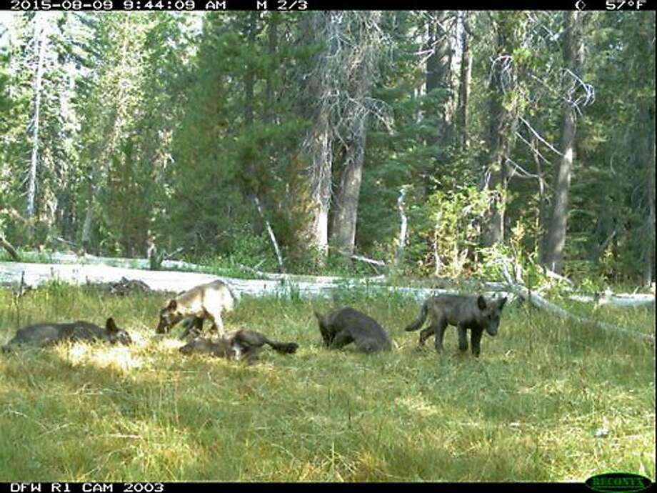 In this Aug. 9, 2015 still image from video released by the California Dept. of Fish and Wildlife shows evidence of five gray wolf pups and two adults in Northern California. California has its first wolf pack since the state�s last known wolf was killed in 1924. State and federal authorities announced Thursday, Aug. 20, 2015, that a trail camera captured photos earlier this month of two adults and five pups in southeastern Siskiyou County. They were named the Shasta pack for nearby Mount Shasta. (California Dept. of Fish and Wildlife via AP) Photo: Associated Press