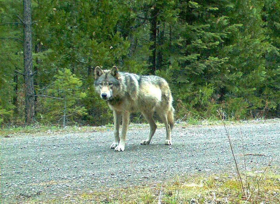 The collared wolf, known as OR-7, left his pack in Oregon in 2011 and became the first lobo in nearly a century to roam California's wilderness.