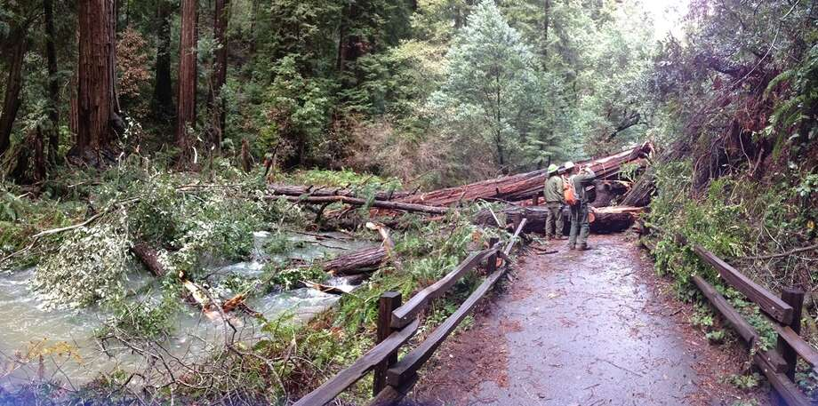 Up to 12 trees have fallen in Muir Woods during January and February as a result of the recent storms. Nonetheless, a fallen tree benefits the ecosystem for years to come. Photo: Courtesy Nathan Hale/NPS