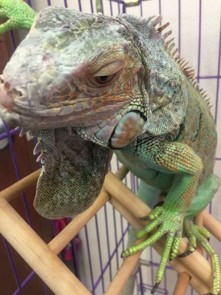 Leonidas the iguana was found marching down the middle of a San Antonio street on the Northwest Side on Feb. 22, 2017. A woman who helped shepherd the 2-foot-long reptile onto a neighbor's lawn called Animal Care Services; an ACS officer rescued the iguana from the tree where it had climbed. ACS is looking for its owner.