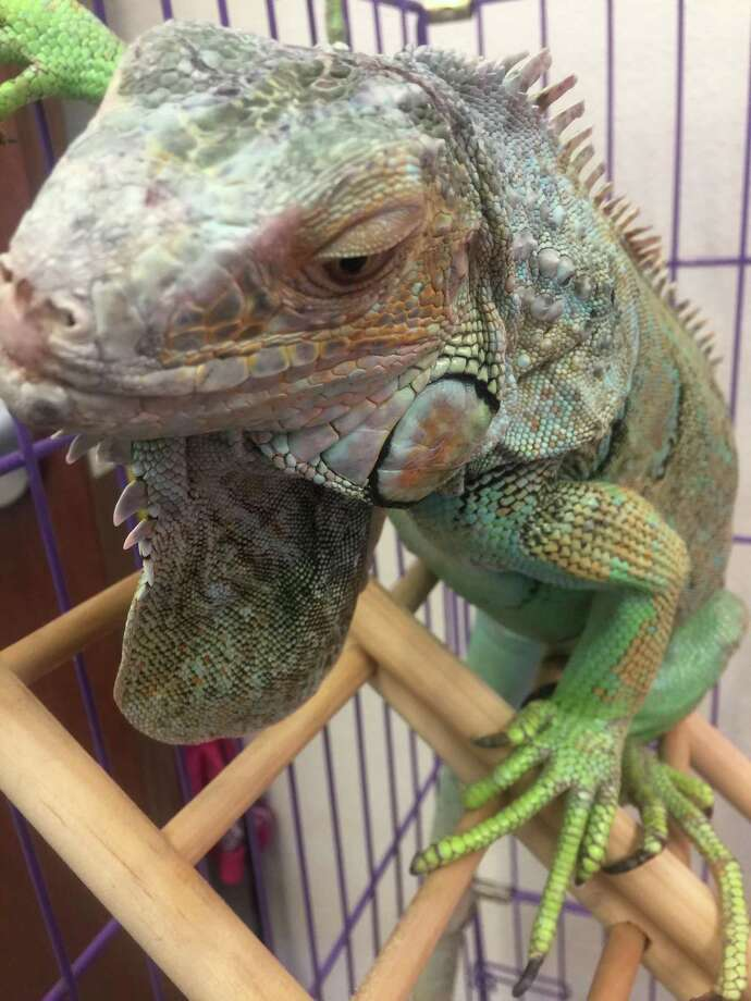 Leonidas the iguana was found marching down the middle of a San Antonio street on the Northwest Side on Feb. 22, 2017. A woman who helped shepherd the 2-foot-long reptile onto a neighbor's lawn called Animal Care Services; an ACS officer rescued the iguana from the tree where it had climbed. ACS is looking for its owner. Photo: Vincent T. Davis / San Antonio Express-News