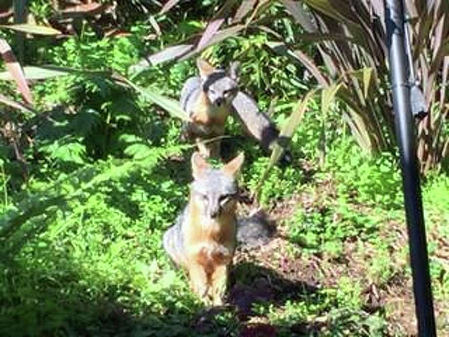 Two gray foxes have taken up residence in the backyard of a Sausalito home. Photo: Jill Shoemaker