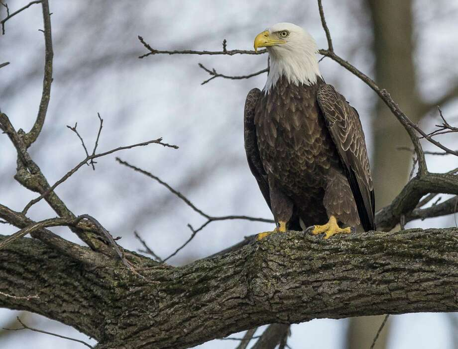 Time is running out to see the bald eagles at the Shepaug Dam in Southbury. The last three days are Wednesday, March 8; Saturday, March 11; and Sunday, March 12, 2017. Photo: Robert Franklin / Associated Press / Robert Franklin, South Bend Tribune