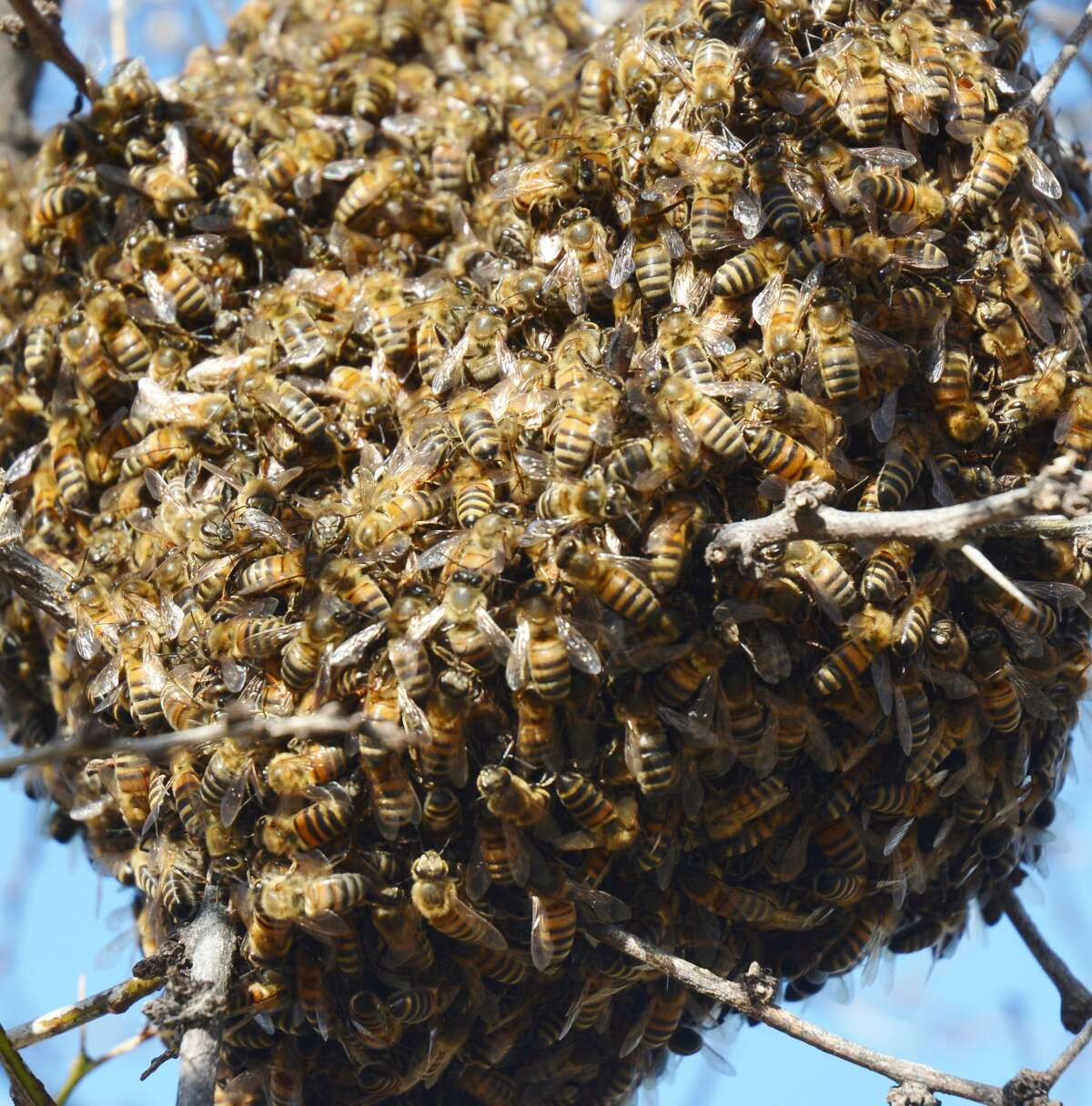 A swarm of honey bees high atop a mesquite tree in West Texas.