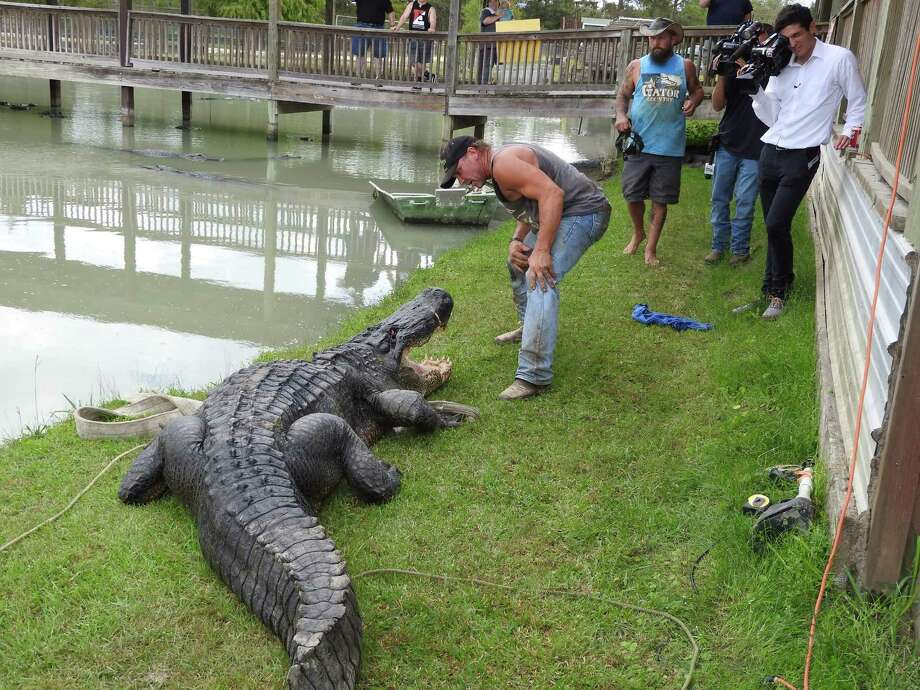 Gary Saurage, co-owner of Gator Country in Beaumont, gets acquainted with a massive 13-foot, 8-inch alligator he helped capture Wednesday in Champion Lake south of Dayton, Texas. The nuisance gator has been relocated to Saurage's facility where it will live out the rest of its life in a natural habitat. Photo: Stuart Marcus