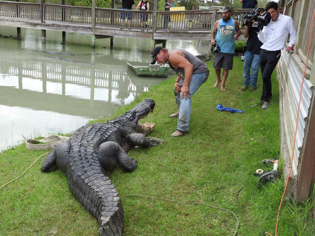 Gary Saurage, co-owner of Gator Country in Beaumont, gets acquainted with a massive 13-foot, 8-inch alligator he helped capture Wednesday in Champion Lake south of Dayton, Texas. The nuisance gator has been relocated to Saurage's facility where it will live out the rest of its life in a natural habitat.
