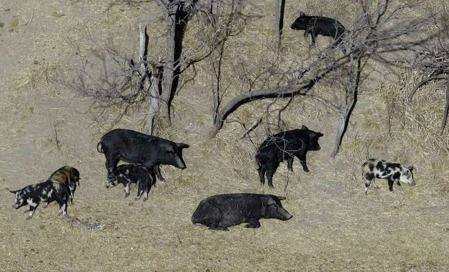 """Feral pigs roam near a Mertzon, Texas ranch in 2009. In February, the Texas agriculture commissioner announced that he approved the use of a poison that he says may herald a """"feral hog apocalypse"""" in a state where an estimated 2.5 million hogs roam. That strategy has come under attack because it imperils other animals and taints meat. Photo: Eric Gay /Associated Press / Copyright 2017 The Associated Press. All rights reserved."""