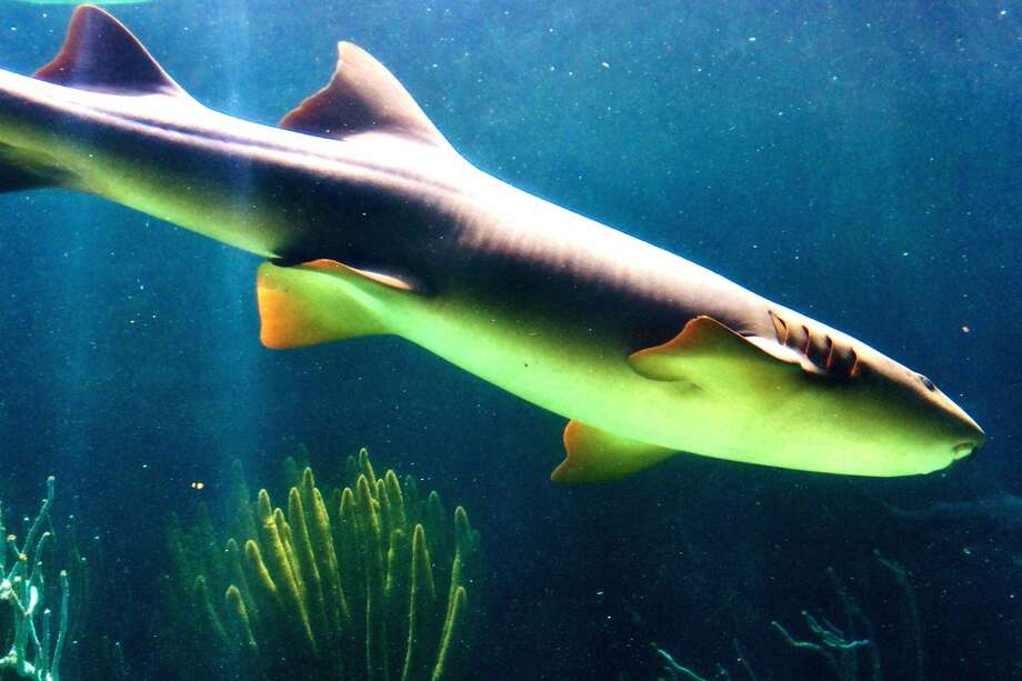 Nurse sharks aren't known to attack humans, but one nurse shark was caught on video biting a honeymooner in the Bahamas.Click through this slideshow for the last 100 years of shark attacks in the Bay Area.  Photo: John Zakszewska / EyeEm/Getty Images/EyeEm
