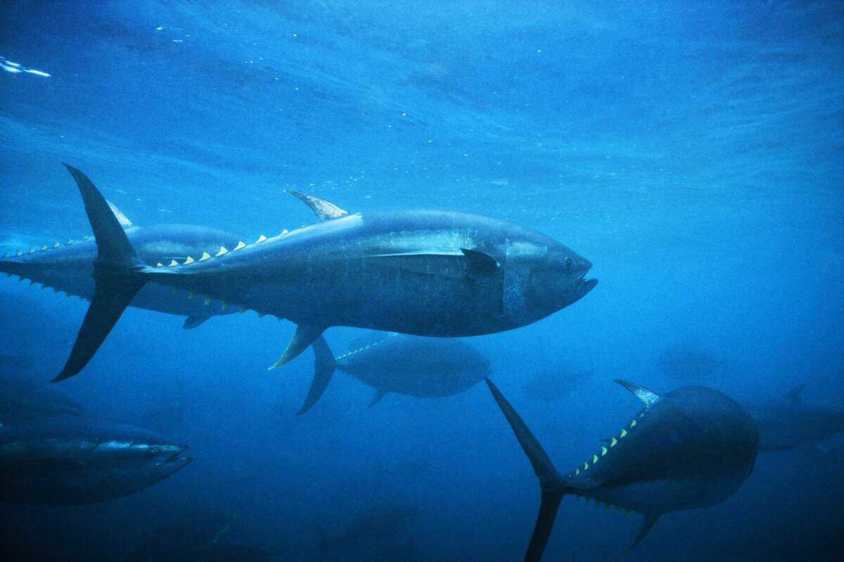 Species: Bluefin Tuna  Weight: 808.00 Length: 103.00 Date: May 4, 1985 Angler: Trina Isaacs Method: Rod and Reel