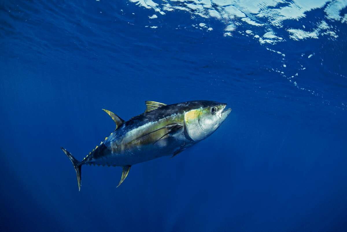 (NOTE: All weights are in pounds and all lengths are in inches)  Species: Yellowfin Tuna  Weight: 216.20 Length: 80.00 Date: Oct. 11, 1998 Angler: Jim Dickson Method: Rod and Reel