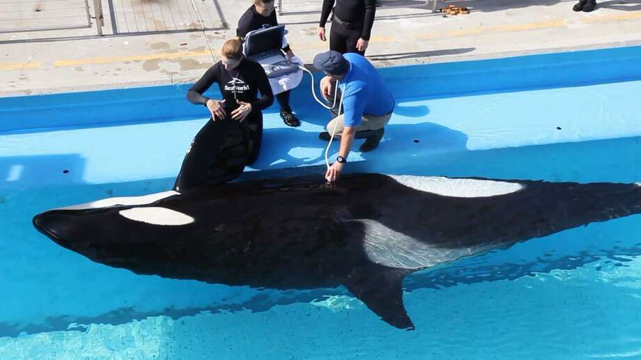 SeaWorld workers perform a sonogram on Takara, a 25-year-old orca, weeks before she's expected to give birth to an orca calf in video provided by the company. Photo: Courtesy /SeaWorld