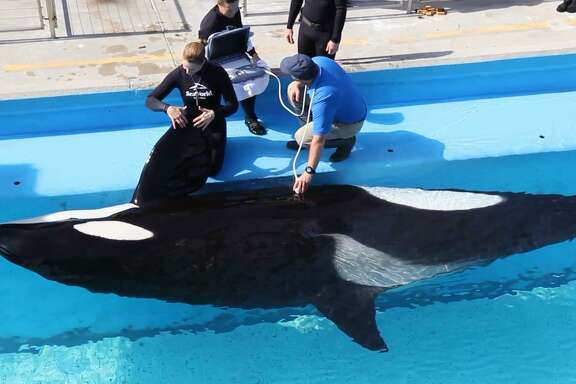 SeaWorld workers perform a sonogram on Takara, a 25-year-old orca, weeks before she's expected to give birth to an orca calf in video provided by the company.