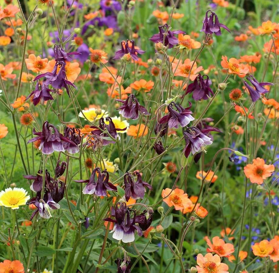 Dark purple Aquilegia yabeana dot a field of flowers. Photo: Annie�s Annuals & Perennials