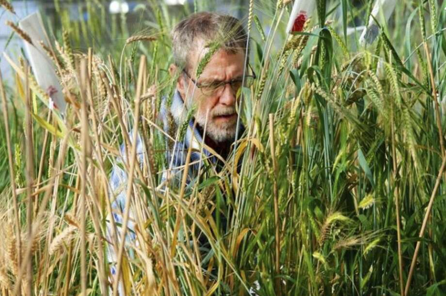 Technician John Mai checks wheat crosses in the institute's greenhouse. On Tuesday, General Mills announced partnerships with The Land Institute and the University of Minnesota to help commercialize Kernza, a wild relative of wheat, and to incorporate the grain into cereals and snacks under its Cascadian Farm organic brand. Photo: The Land Institute / The Land Institute