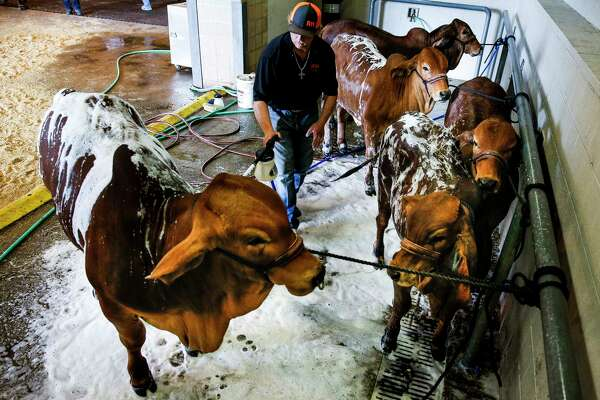Ty Wise, from Idabel, Oklahoma, washes his Brahmin cattle at the NRG Center during the opening day of the Houston Livestock Show and Rodeo Tuesday, March 7, 2017 in Houston.