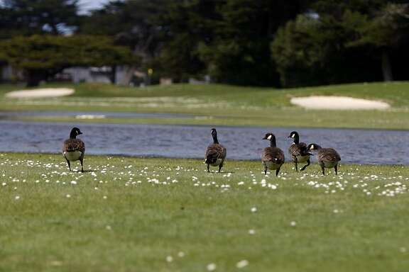 A gaggle of Canada geese forage inside of Sharp Park Golf Course in Pacifica, Calif., on Monday, March 21, 2011.