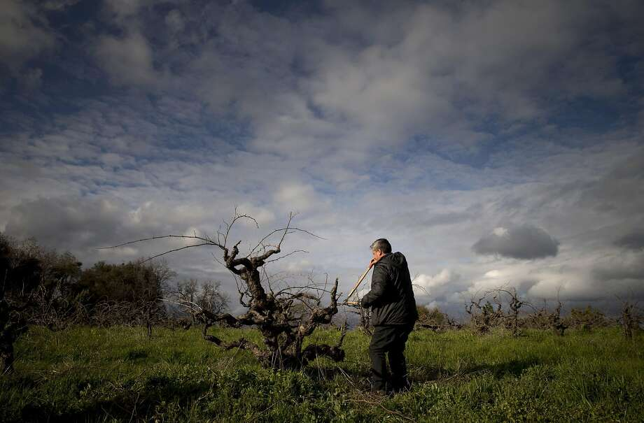 Rob Campbell, owner of Story Winery, prunes some branches from a Mission Grape vine at his winery in Plymouth, Calif., on Monday, March 6, 2017. The winery still harvests the Mission grape, which was the first type of grapevine to be planted in California. Few Mission vines remain, but Story Winery has about an acre remaining of vines planted in 1894. Photo: Carlos Avila Gonzalez, The Chronicle
