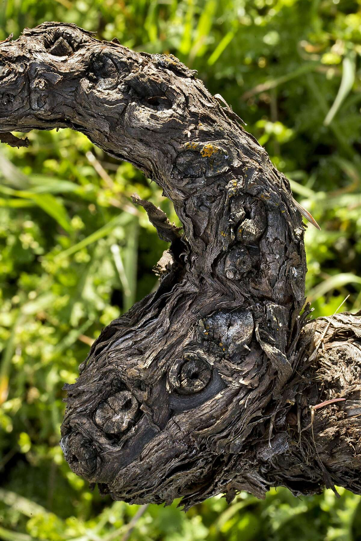 A progressions of pruning scars are visible on a Mission Grape vine at Story Winery in Plymouth, Calif., on Monday, March 6, 2017. The winery still harvests the Mission grape, which was the first type of grapevine to be planted in California. Few Mission vines remain, but Story Winery has about an acre remaining of vines planted in 1894.