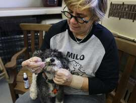 In this photo taken on Tuesday, Feb. 14, 2017, Lynne Tingle administers a cannabis based medicinal treatment to a dog at the Milo Foundation pet adoption center in Richmond, Calif. As more states legalize marijuana for humans, more pet owners are giving their furry companions cannabis-based extracts, ointments and edibles marketed to treat everything from arthritis and anxiety to seizures and cancer. (AP Photo/Ben Margot)