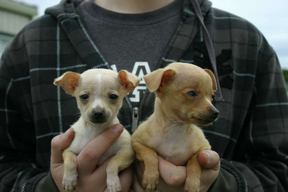 """EightyChihuahuaswere rescued from the home of an elderly woman in Solano County over the past three months. Fifty-five animals havefound """"forever homes,"""" but 25 are still seeking loving owners. Photo: Courtesy Solano County SPCA"""