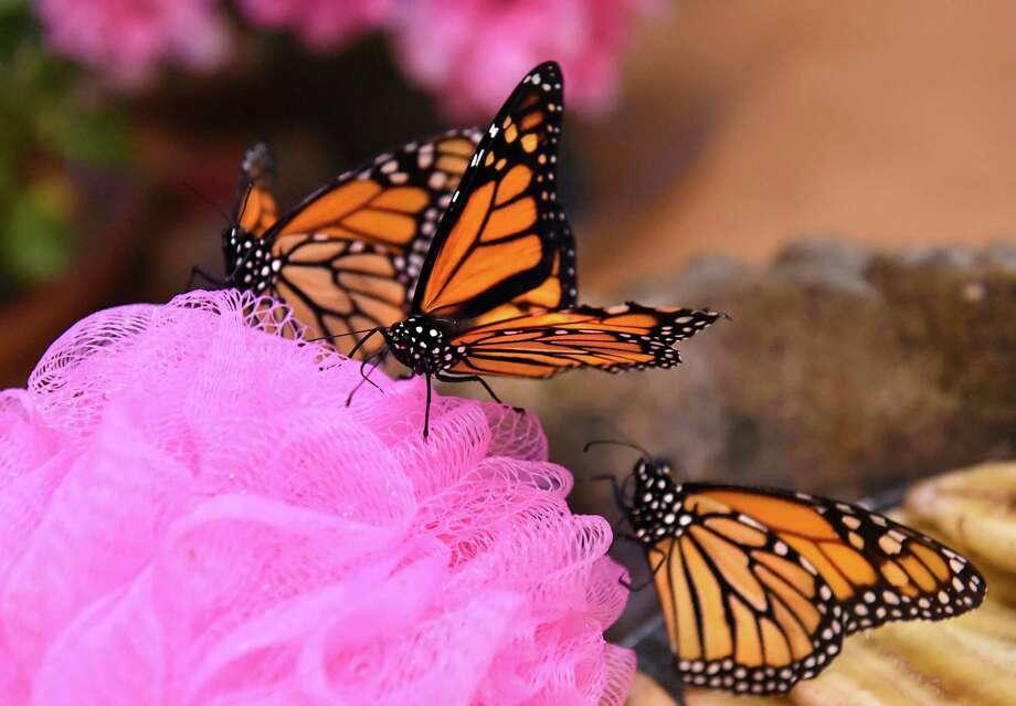 Monarch butterflies are seen at Discover Butterflies at miSci on Wednesday, March. 8, 2017 in Schenectady, N.Y. (Lori Van Buren / Times Union) Photo: Lori Van Buren / 20039869A